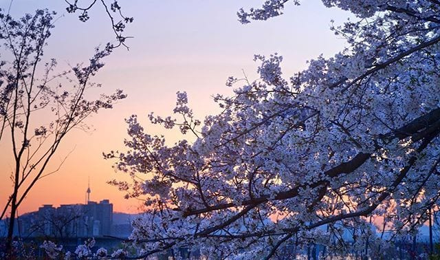 Cherry Blossom Festivals in Korea